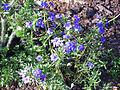 Anagallis monelli subsp. linifolia Habitus 2011-5-14 SierraMadrona.jpg