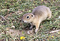 Anatolian Ground Squirrel - Spermophilus xanthoprymnus 01.jpg