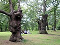 Ancient Oaks in the grounds of Pembroke Lodge, Richmond Park - geograph.org.uk - 1426771.jpg