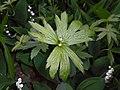 Anemone canadensis 2016-05-17 0675.jpg