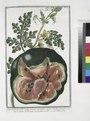 Anguria fructu medio, pulpa rubente, seminibus nigris, tenello putamine - Cocomero de Romani con il seme mondo - Melon d'eau. (Watermelon) (NYPL b14444147-1124996).tiff