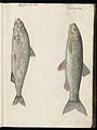Animal drawings collected by Felix Platter, p1 - (185).jpg