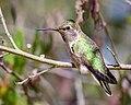 Anna's Hummingbird (42204915670).jpg