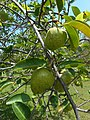 Annona glabra 03 - fruits on branches.jpg