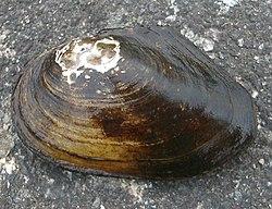 Anodonta anatina1.jpg
