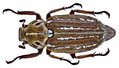 Anoxia orientalis (Krynicky, 1832) male (14249431193).png