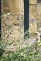 Anthirrhinum siculum-muflier de Sicile 01.jpg