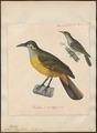 Anthochaera chrysotis - 1825-1839 - Print - Iconographia Zoologica - Special Collections University of Amsterdam - UBA01 IZ19200049.tif