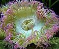 Anthopleura elegantissima, Seattle.jpg
