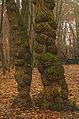 Anthracnose - canker - Baumkrebs - Pflanzenkrebs - Chancre - antracnosis - 01.jpg