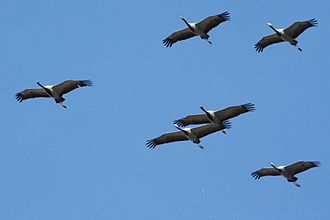 Crane (bird) - Demoiselle cranes in Mongolia. Central Asian populations of this species migrate to Northern India in the winter