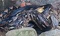 Apareamiento de pitones de la India (Python molurus), Zoo de Ciudad Ho Chi Minh, Vietnam, 2013-08-14, DD 01.JPG