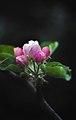 Apfelblüte 1.jpg
