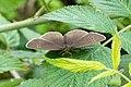 Aphantopus hyperantus - Schornsteinfeger - panoramio.jpg