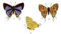AphnaeusPeguanus 735 1 Fitch.png