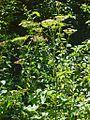 Apiaceae - Heracleum sphondylium-5.JPG
