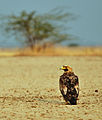 Aquila heliaca, Little Rann of Kutch 1.jpg
