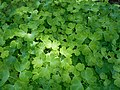 Aquilegia seedlings 2016-07-31 3402.jpg