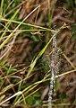 Araña Tigre - Wasp Spider - Argiope bruenichii - Poliandria - Polyandry (5203159205).jpg