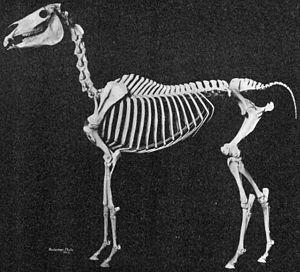 Arabian horse - Image: Arabian horse skeleton