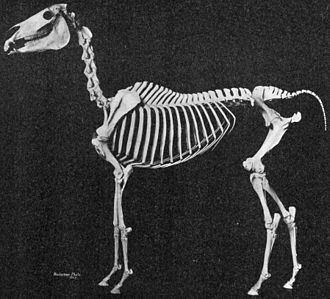 Arabian horse - Mounted skeleton of an Arabian horse, showing underlying structure of breed characteristics including short back, high-set tail, distinction between level croup and well-angulated hip. This specimen also has only 5 lumbar vertebrae.