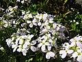 Arabis alpina L 02HD.jpg