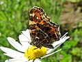 Araschnia levana (Nymphalidae) (Map Butterfly) - (imago), Elst (Gld), the Netherlands.jpg