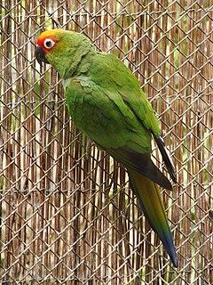 Golden-capped parakeet species of bird