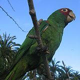 Aratinga erythrogenys -city -San Francisco-8a-2c.jpg