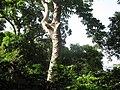 Arbol de hule en el bosque de Leon de Piedra,Tecoluca. A la vista las cortadas para extraer el latex. - panoramio.jpg
