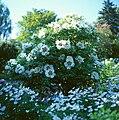Arboretum Ellerhoop - Paeonia rockii.jpg