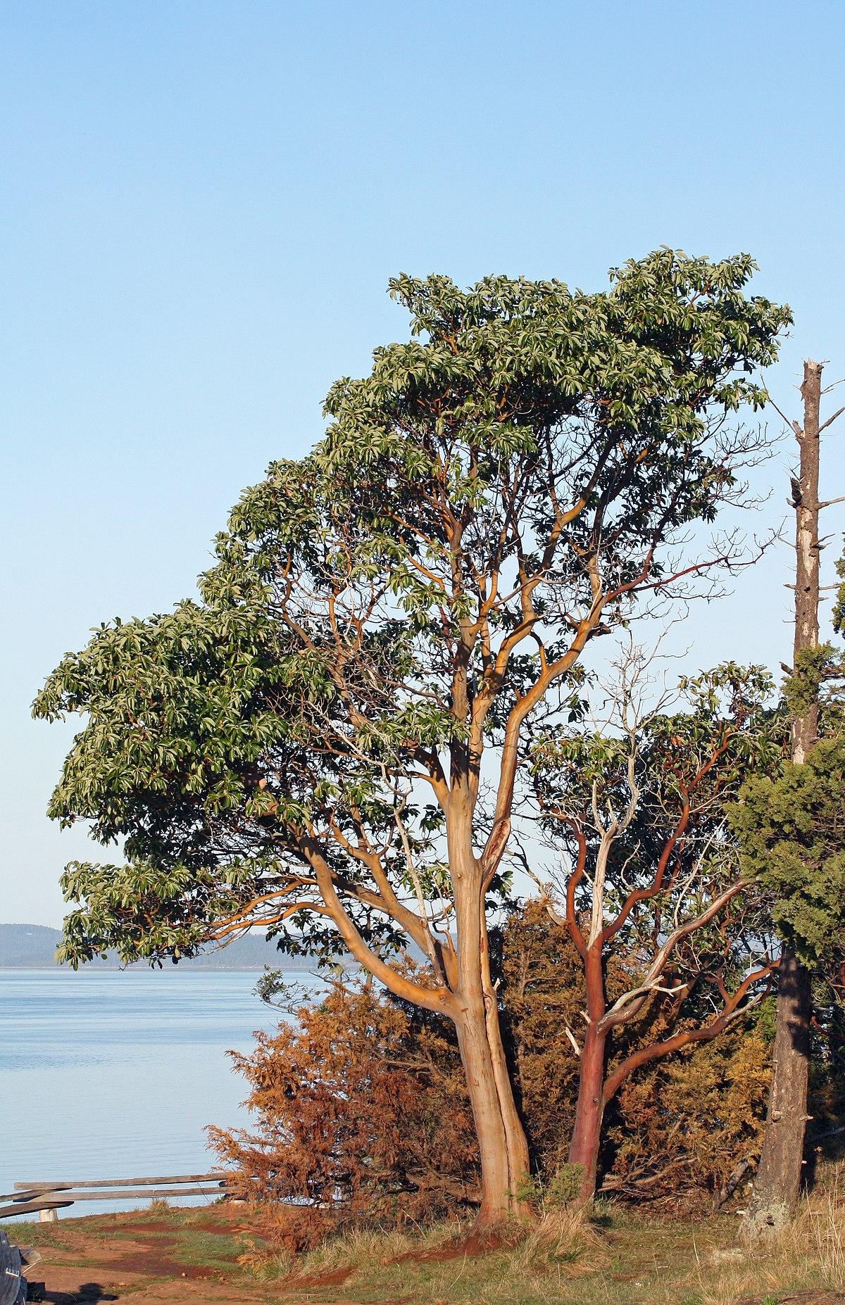 Afbeeldingsresultaat voor madrone tree
