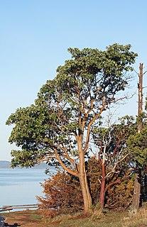 <i>Arbutus menziesii</i> species of plant