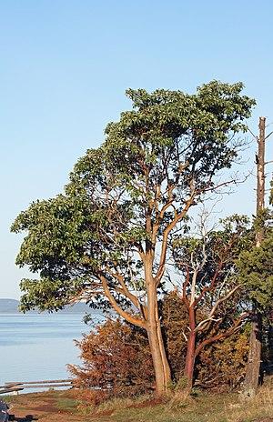 Arbutus menziesii - Image: Arbutus menziesii 5822