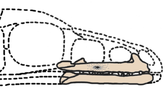 Archaeornithoides - Skull reconstruction, known material in brown