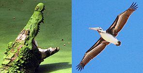 Krokodile und Vögel sind rezente Archosaurier