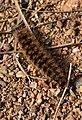 Arctia villica - Chenille 02.jpg