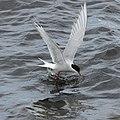 Arctic Tern (Sterna paradisea), Westing beach - geograph.org.uk - 1911764.jpg