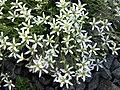 Arenaria grandiflora 3.JPG
