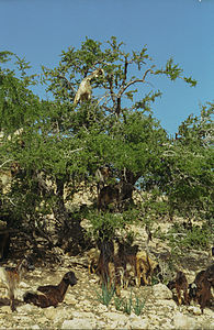 Arganiatrees and goats(js)2.jpg