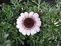 Argyranthemum frutescens × Chrysanthemum carinatum 'Queen mais' -荷蘭園藝展 Venlo Floriade, Holland- (9226997943).jpg