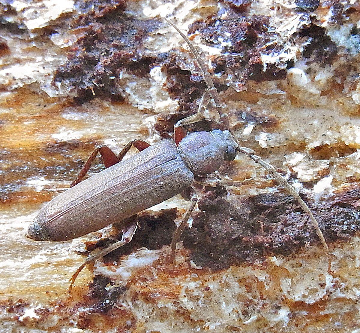 Arhopalus rusticus - Wikispecies