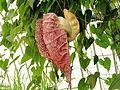 Aristolochia grandiflora-IMG 4615.jpg