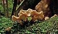 Armillaria novae-zelandiae. (13142584145).jpg
