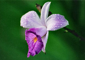 Wildlife of Laos - Bamboo orchid