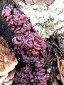 Ascocoryne sarcoides 106476328.jpg