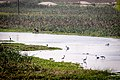 Asian openbill foraging and farmer fishing.jpg