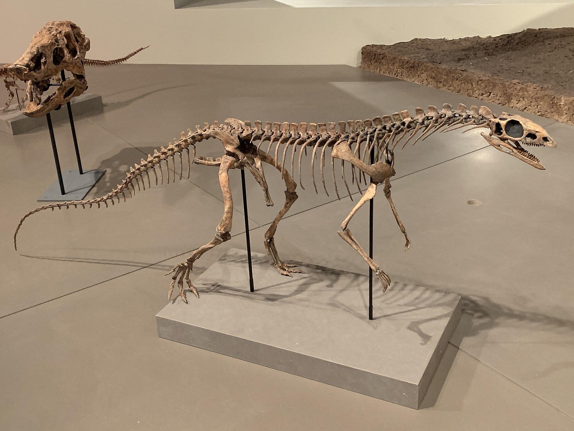 Asilisaurus kongwe FMNH.jpg