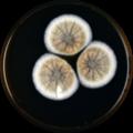 Aspergillus baeticus meaox.png