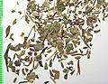 Asperulae herba by Danny S. - 001.jpg